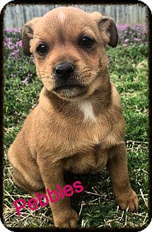Corgi Mix Puppy for adoption in Cranford, New Jersey - Pebbles
