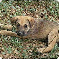 Adopt A Pet :: Shep Mix Pup - Alliance, OH