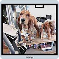 Adopt A Pet :: Emmy - Albuquerque, NM