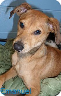 Carolina Dog/Carolina Dog Mix Dog for adoption in Georgetown, South Carolina - emaunel