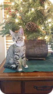 Domestic Shorthair Kitten for adoption in Fort Pierce, Florida - Bubbles