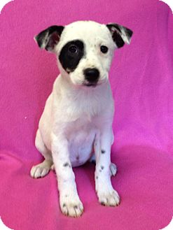 Australian Cattle Dog/Border Collie Mix Puppy for adoption in Groton, Massachusetts - Flora