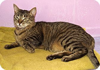 American Shorthair Cat for adoption in Englewood, Florida - Foxy Kitty