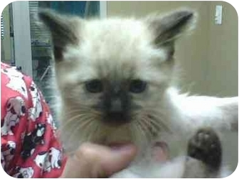 Siamese Kitten for adoption in Molalla, Oregon - Sasha