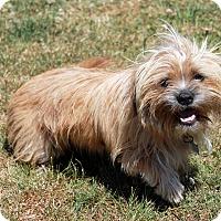 Adopt A Pet :: Brittany - Lynnwood, WA