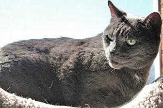 Domestic Shorthair Cat for adoption in Sebastian, Florida - Josie