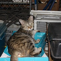 American Shorthair Cat for adoption in Morriston, Florida - Tiger Momma