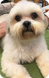 Shih Tzu Dog for adoption in Franklin, Tennessee - Barbaraella