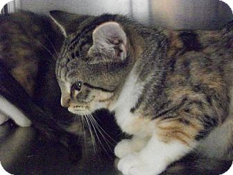 Domestic Shorthair Kitten for adoption in Salem, Massachusetts - Ruby