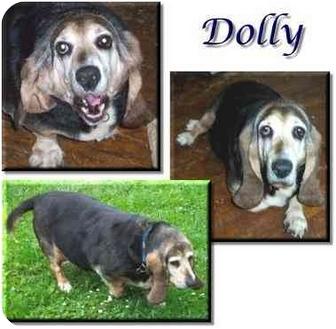 Basset Hound Dog for adoption in Marietta, Georgia - Dolly