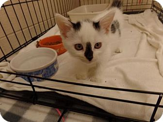 Domestic Mediumhair Kitten for adoption in Crown Point, Indiana - Apple Cider