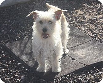 Cairn Terrier/Terrier (Unknown Type, Small) Mix Dog for adoption in Henderson, Nevada - Star