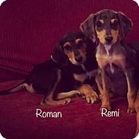 Adopt A Pet :: Roman meet me 3/24 - East Hartford, CT