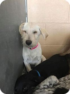 Schnauzer (Giant) Mix Puppy for adoption in Mesa, Arizona - BEBBE
