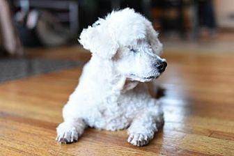 Poodle (Miniature) Dog for adoption in Eden Prairie, Minnesota - Benedict *Blind* D161502