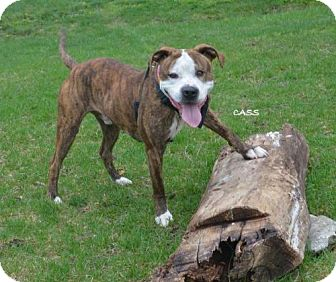 American Pit Bull Terrier/American Bulldog Mix Dog for adoption in Independence, Missouri - Cass