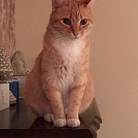 Domestic Shorthair Cat for adoption in Port Richey, Florida - Goldilocks