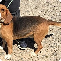 Adopt A Pet :: Dash - Lexington, MA