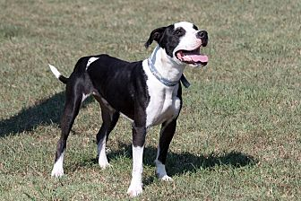 Pit Bull Terrier Mix Dog for adoption in Broken Arrow, Oklahoma - Astro