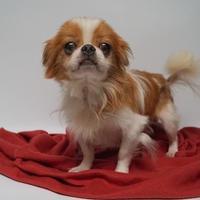 Adopt A Pet :: Paprika (D17-148) - Lebanon, TN