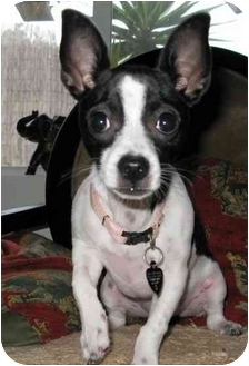 Chihuahua/Fox Terrier (Toy) Mix Dog for adoption in San Diego, California - Pixie
