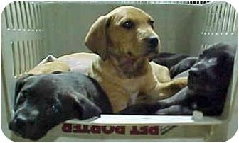 Labrador Retriever/Hound (Unknown Type) Mix Puppy for adoption in HARRISONVILLE, Missouri - MORE PUPPIES