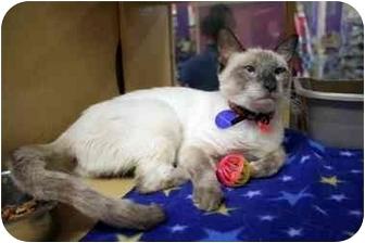 Siamese Cat for adoption in Orlando, Florida - Dopsey