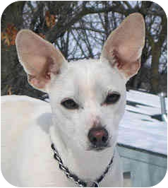 Chihuahua Dog for adoption in Jacksonville, Florida - Angel