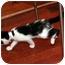 Photo 3 - American Shorthair Kitten for adoption in Brooklyn, New York - Yessie-Jin