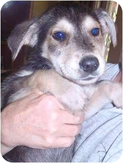 Labrador Retriever/German Shepherd Dog Mix Puppy for adoption in Bel Air, Maryland - Boston