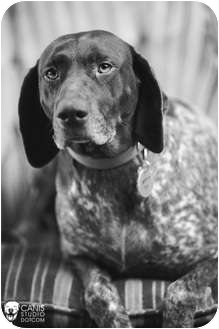 German Shorthaired Pointer Dog for adoption in Portland, Oregon - Boudicca