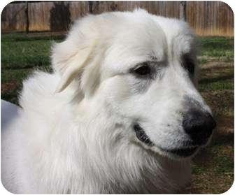 Great Pyrenees Mix Dog for adoption in Hamburg, Pennsylvania - Samson