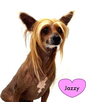 Chinese Crested Dog for adoption in Bridgeton, Missouri - Jazzy
