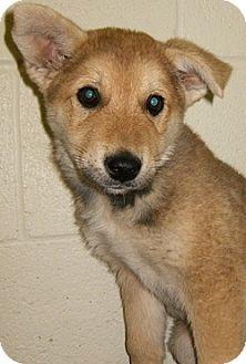 Shepherd (Unknown Type) Mix Puppy for adoption in Alamogordo, New Mexico - Bear