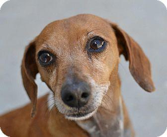 Dachshund Mix Dog for adoption in Gainesville, Florida - Mya
