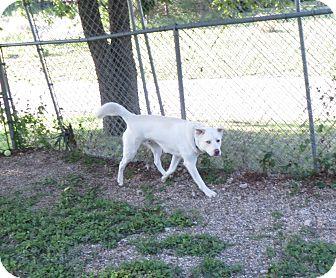 Husky/Labrador Retriever Mix Dog for adoption in Geneseo, Illinois - Alex