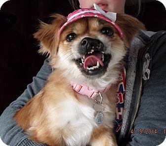 Pekingese Dog for adoption in Mentor, Ohio - LULU