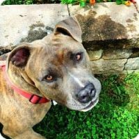 Adopt A Pet :: Russell- PAW Rescue - Fredericksburg, VA