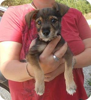 Schnauzer (Miniature) Mix Puppy for adoption in Bluemont, Virginia - BUGSY