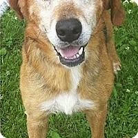 Adopt A Pet :: Laney - Toledo, OH