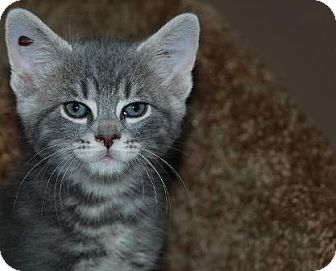 Domestic Shorthair Kitten for adoption in Walworth, New York - Macyn