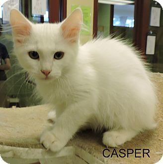 Domestic Mediumhair Kitten for adoption in Slidell, Louisiana - Casper