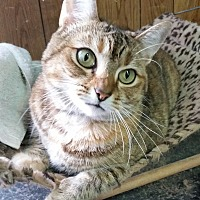 Domestic Shorthair Cat for adoption in Greenville, North Carolina - Cha Cha