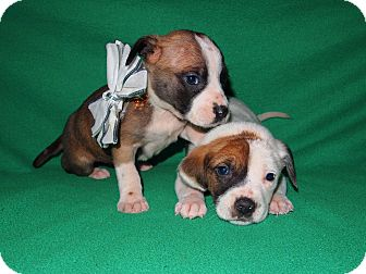 American Pit Bull Terrier/American Staffordshire Terrier Mix Puppy for adoption in Shreveport, Louisiana - Sky