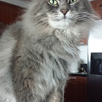 Maine Coon Cat for adoption in Sunny Isles Beach, Florida - Simba