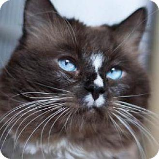 Domestic Longhair Cat for adoption in Denver, Colorado - Steve