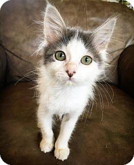 Ragdoll Kitten for adoption in Fredericksburg, Texas - Harriet