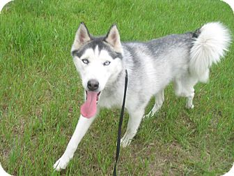 Siberian Husky Dog for adoption in Egremont, Alberta - Hank