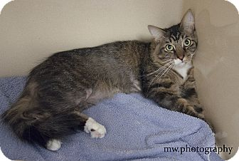 Maine Coon Cat for adoption in Lincolnton, North Carolina - Henry Bruce  $20