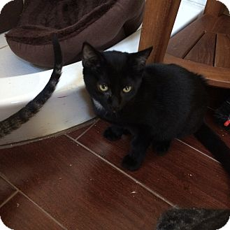 Domestic Mediumhair Kitten for adoption in San Ramon, California - Noe